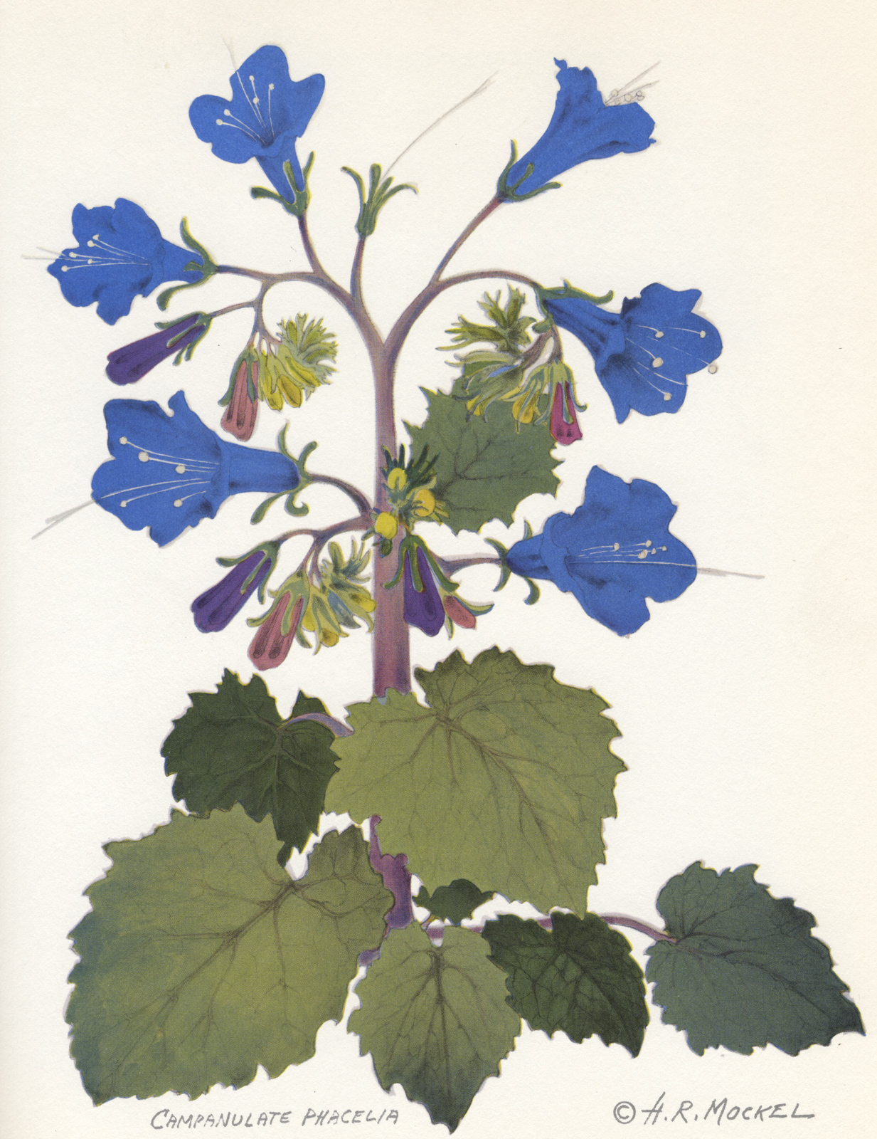 Henry Mockel, Campanulate Phacelia, Hot Air From the Desert